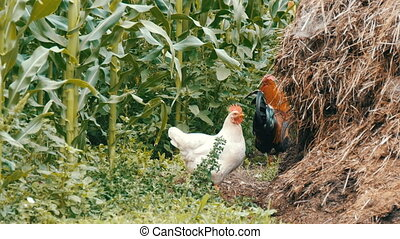 Variety of chickens and roosters run around in the vegetable...