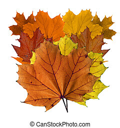 Variety of colorful maple leaves in fall