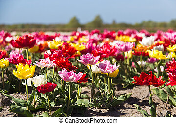 Variety of colorful tulips growing on farm