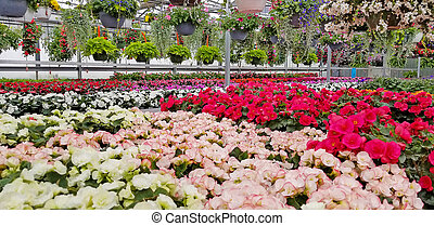 begonia plants in greenhouse