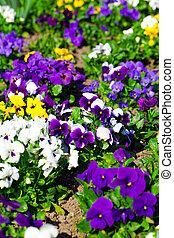 Variety of petunias  - Variety of petunias