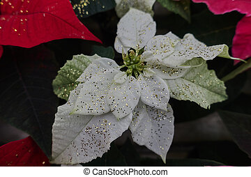 variety of poinsettia in bloom