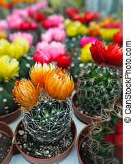 Variety of small cactus plants with colorful flowers in plastic pots on white loading trays
