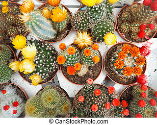 Variety of small echinopsis cactus plants with colorful flowers in plastic pots on white loading trays