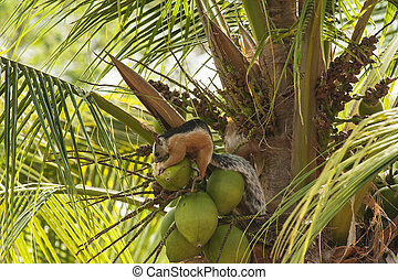 Varigated Tree Squirrel Chewing on a Coconut
