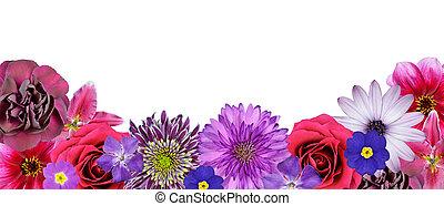 vario, rosa, púrpura, flores rojas, en, fondo, fila, aislado