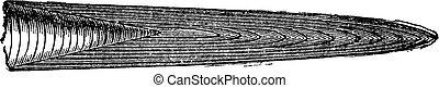 Various beaks of Jurassic belemnites, vintage engraving.