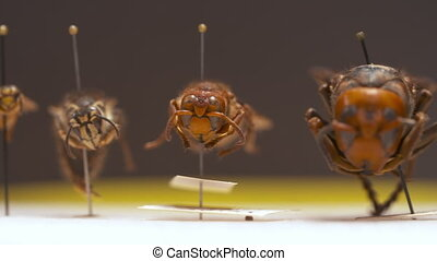 Handheld, panning, close up shot of various bees and wasps on display, from smallest to largest.