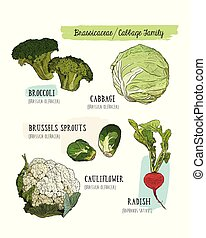 Various cabbage set.  cabbage, broccoli, Brussels sprouts, cauliflower, radish.