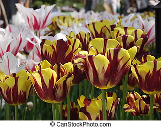 various Ducth tulips - Batanical garden with Dutch tulips