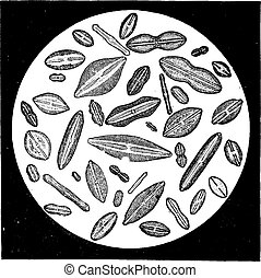 Various forms of diatoms, vintage engraving.