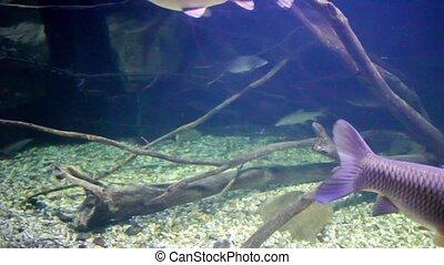 Various freshwater fish swim underwater, full HD video