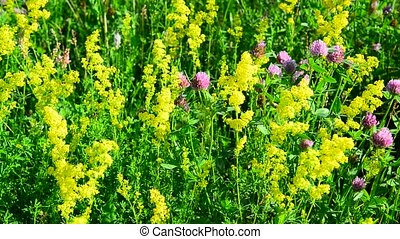 Various herbs and flowers on meadow close-up, Russia