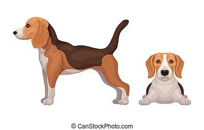 Various Poses of Dog Beagle as Small Hound Breed Vector Set