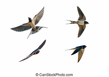 various postures of swallow hirundo rustica on white...