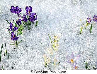 various saffron crocus flower blooms snow spring - various...
