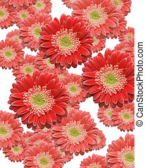 Falling Red and Pink Gerber Daisies - Various Sized and...