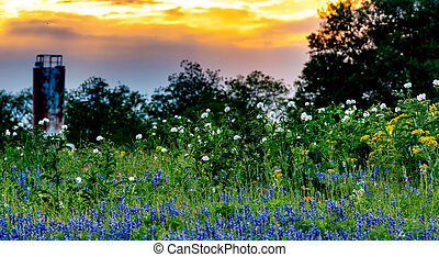 Various Texas Wildflowers in a Texas Pasture at Sunset