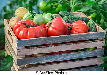 Various tomatoes and cucumbers in greenhouse