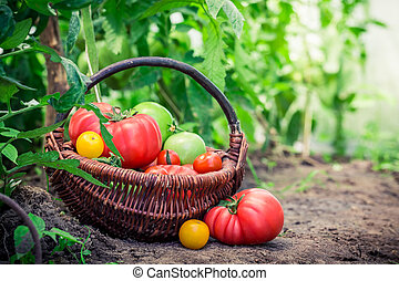 Various tomatoes in greenhouse