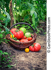 Various tomatoes on ground