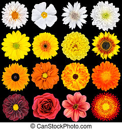 Various White, Yellow, Orange and Red Flowers Isolated on Black