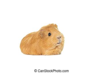varken, guinea, gember