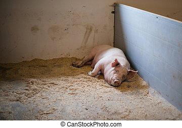 varken, het liggen, stal