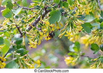 varredura, colecionar, honey., abelha, florescendo, bush.
