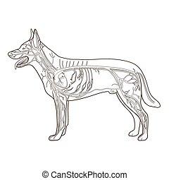 vasculaire, vecteur, chien, illustration, système