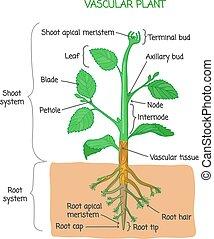 Vascular plant biological structure labeled diagram, vector ...