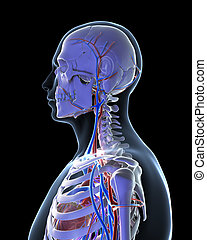 Vascular system - 3d rendered illustration - vascular system