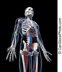 Vascular system
