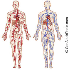 Vascular system and blood - Schematic illustration of the ...