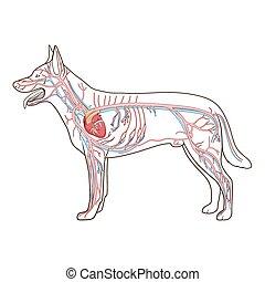 Vascular system of the dog vector illustration - Vascular ...