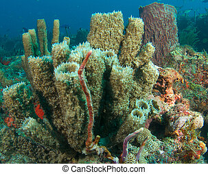 Vase Sponges on a reef in south east Florida.