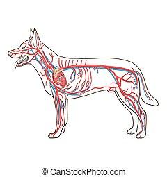 vaskulär, vektor, hund, abbildung, system