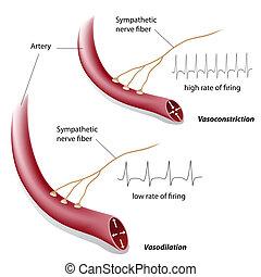 vasoconstriction, vasodilation