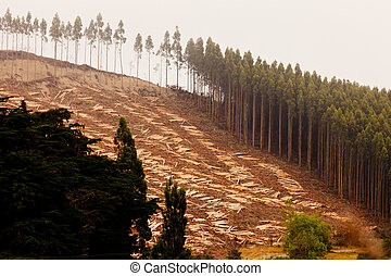 Vast clearcut Eucalyptus forest for timber harvest -...