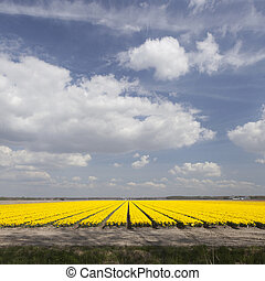 yellow tulips in dutch flower field and blue sky with clouds