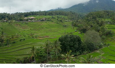 Vast green rice fields on the hills in Bali. Retreating dolly aerial view of farm paddy plantations in rural countryside 4K