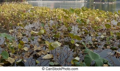 Vast lotus leaf pool in autumn beijing & lake bridge railings.fisherman on boat