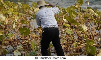 Vast lotus pool,Fisherman on boat - Vast lotus...