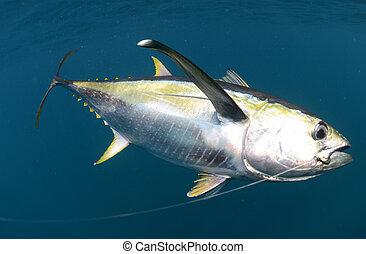 vastgehaakte, gele vin, tuna vis, onderwater