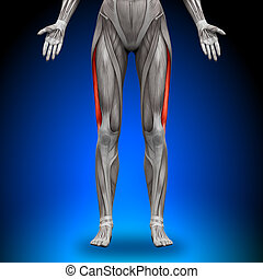 Vastus Lateralis - Female Anatomy Muscles