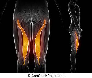 Vastus medialis - black anatomy muscle isolated