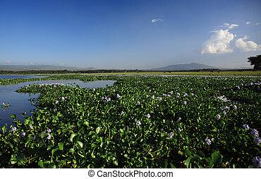 vatten hyacint, över, synhåll