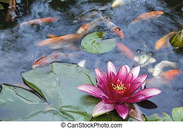 vatten lilja, blomma, blomning, in, koi, damm