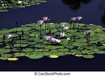vatten lilja