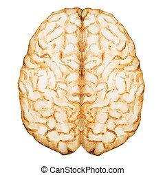 vattenfärg, hjärna